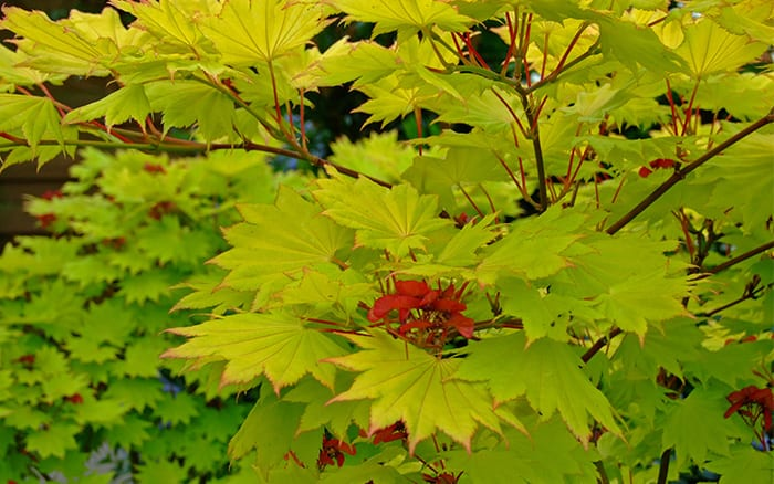 how to grow acers or japanese maples april plant of the month. Black Bedroom Furniture Sets. Home Design Ideas
