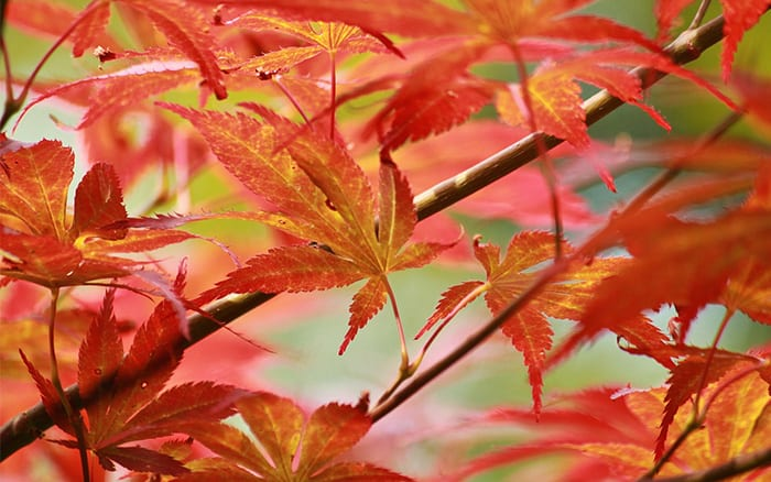 acer-japanese-maple-autumn-colour-red-orange-leaves best trees for small gardens