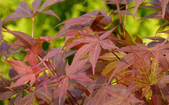 acer-japanese-maple-tree-leaf-red-purple