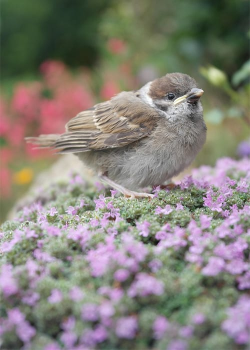Bird on creeping thyme lawn. The best lawn alternatives to grass