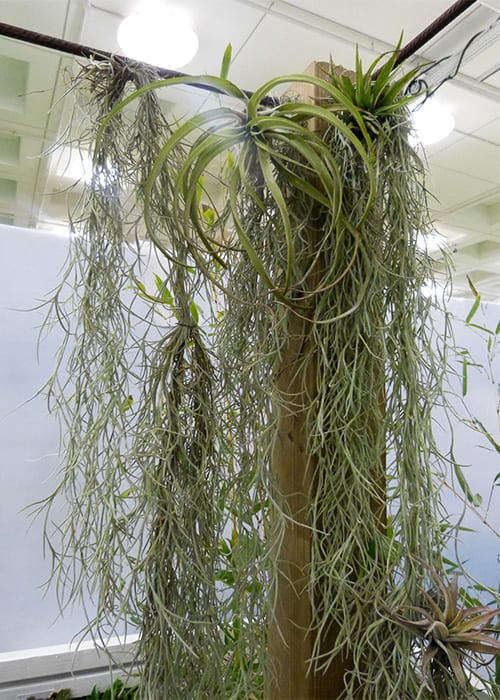 Capel Manor College air plants or tillandsia in the tropical yoga retreat show garden. Get the best small garden ideas