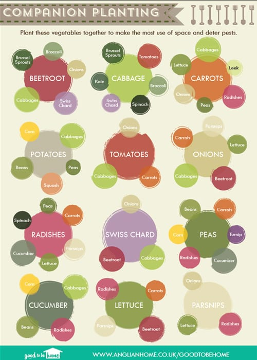 Companion planting in the vegetable garden - the best crops to grow together. Infographic from Anglian Home