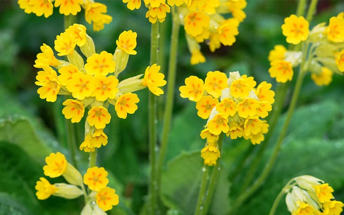 cowslip-primroses-primula-vulgaris-yellow-flowers-spring-march