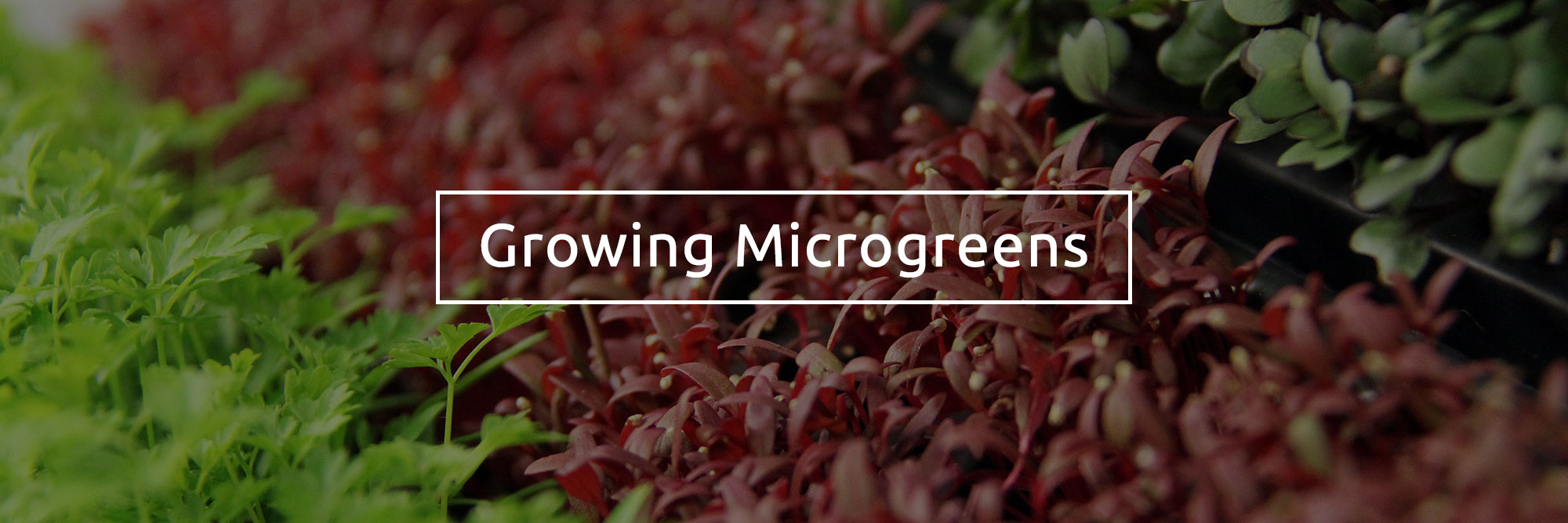 growing-microgreens