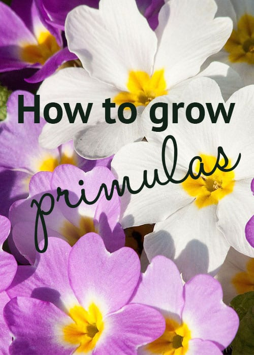 How to grow primulas! Stunning primroses and bedding plants