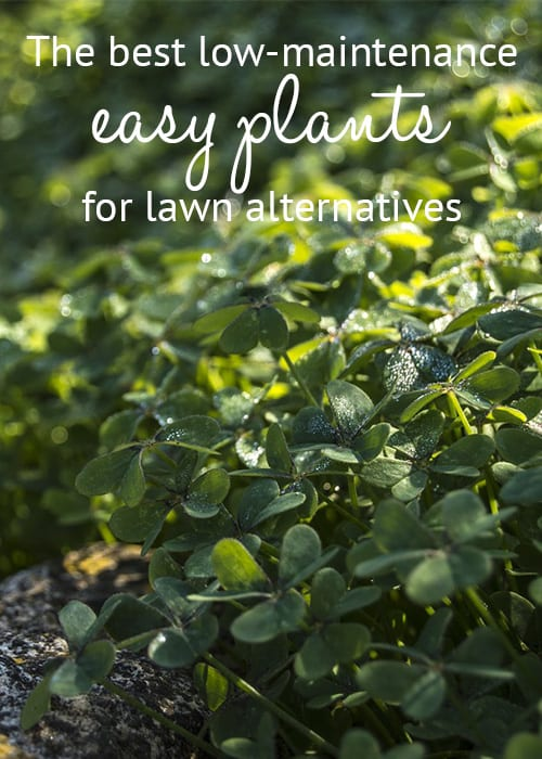 The best low maintenance plants for easy lawn alternatives for Best no maintenance plants