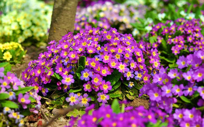 primulas-spring-flowers-garden-how-to-grow-primroses