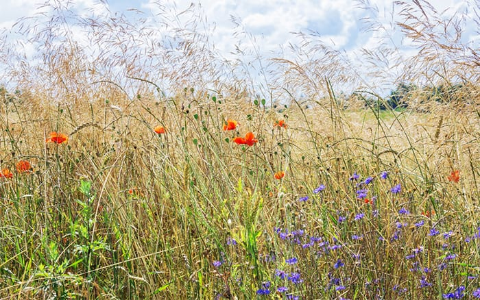 wildflower-meadow-with-grass-poppies-and-cornflowers