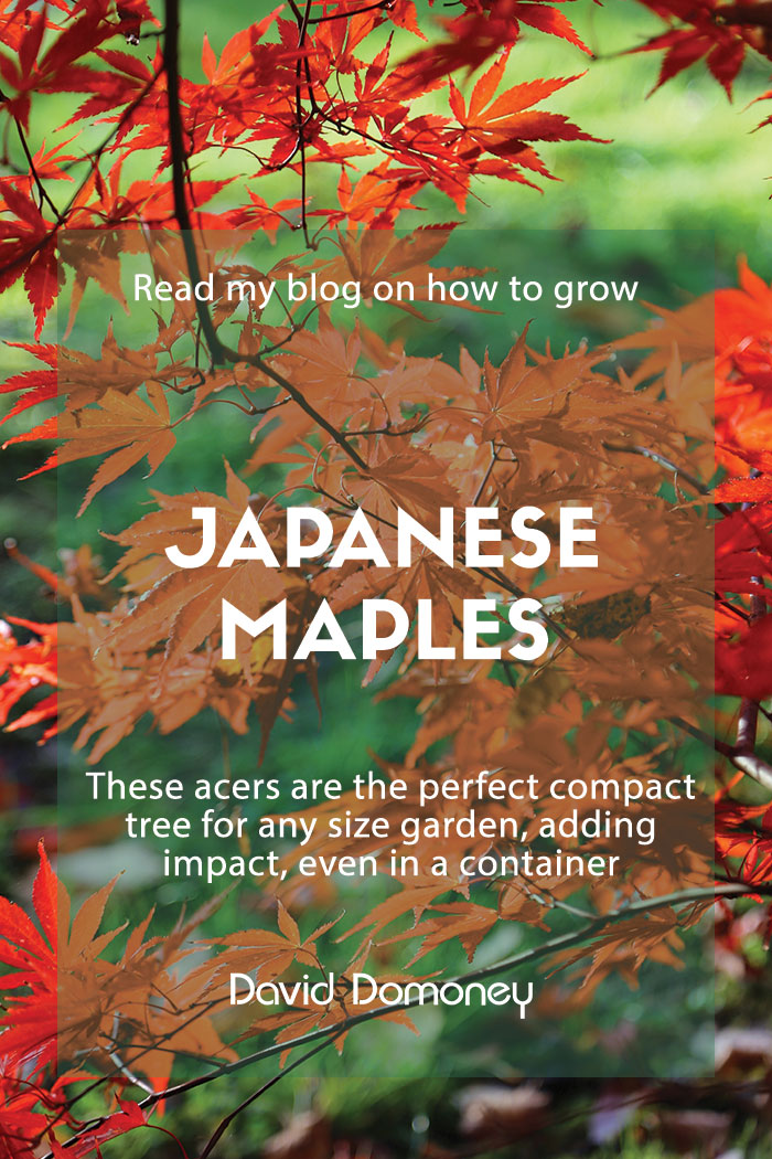 Japanese maples acers