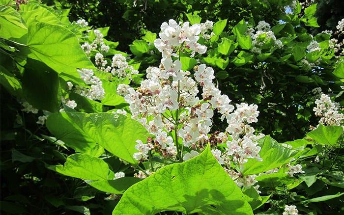 catalpa-bignonioides-indian-bean-tree-spring-blossom-white