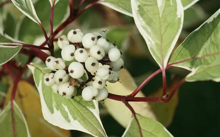 cornus-alba-dogwood-leaves-berries-and-red-stems
