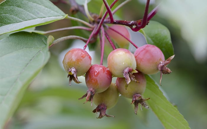 crab-apple-fruits-small-apple-trees-for-small-gardens