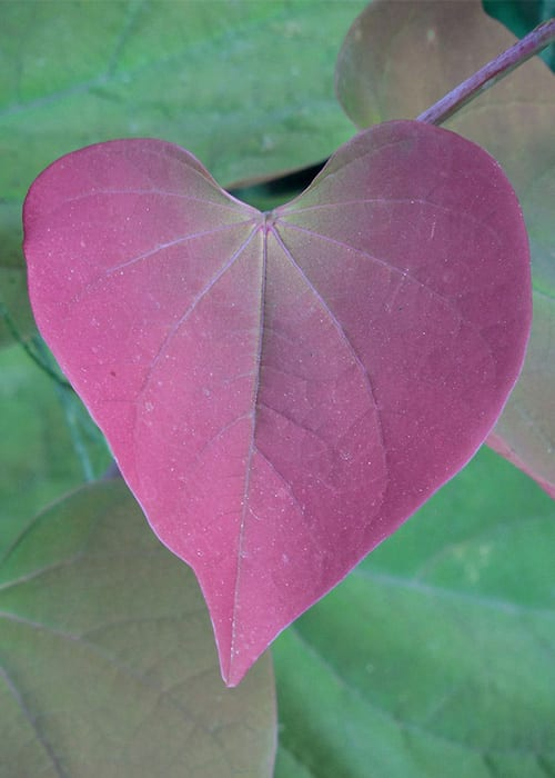 Eastern Redbud, also known as Cercis or the Forest Pansy, has heart-shaped red leaves. It's a great tree for small gardens too