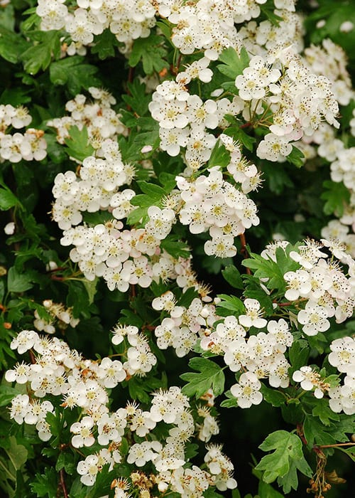 Hawthorn tree with white blossom in spring. These stunning native trees are perfect for small gardens
