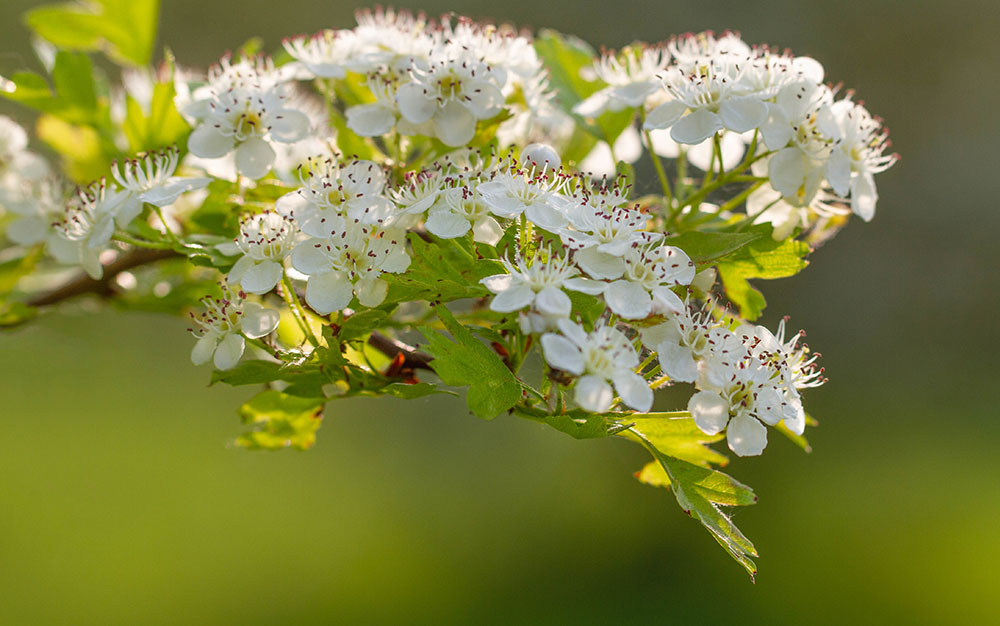 15 best trees for small gardens beautiful small trees hawthorn is a native british tree that illuminates hedgerows with its white blossom in spring some varieties such as crataegus persimilis prunifolia are mightylinksfo