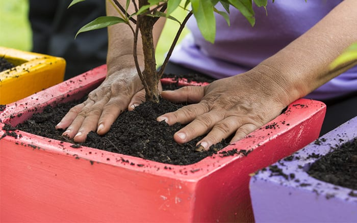 planting fruit in a pot