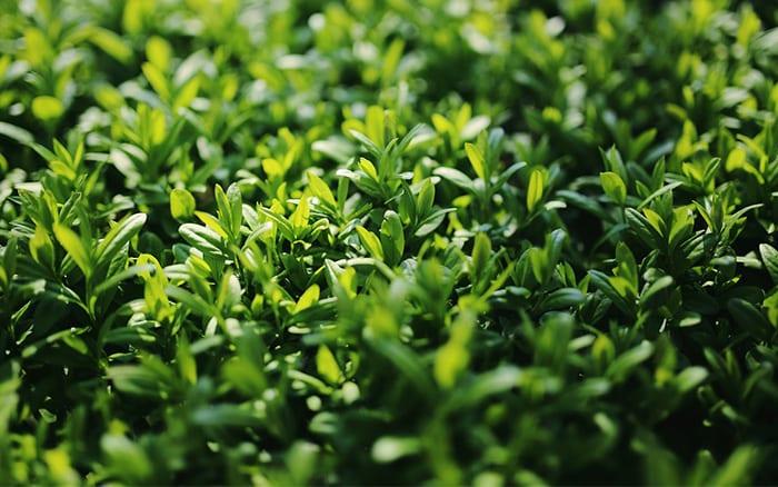 privet-hedge-fast-growing-shrubs-for-privacy-evergreen-shrubs