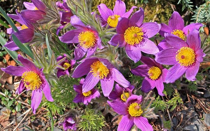 pulsatilla-vulagris-alpine-plants-for-rockery-rock-garden-alpines