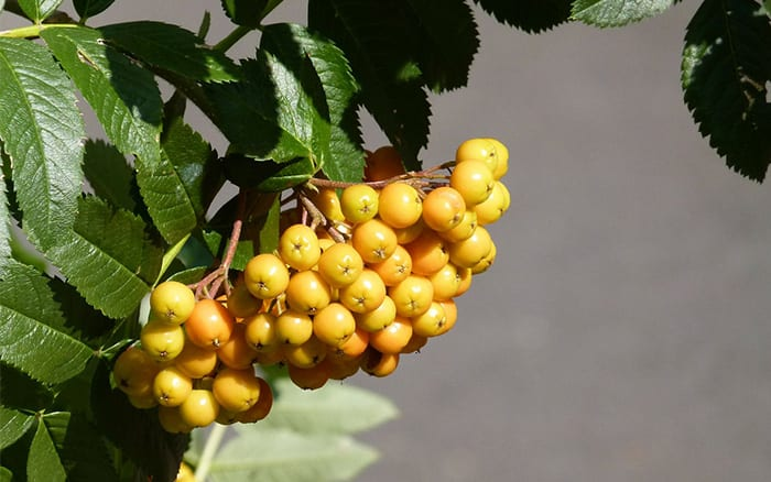 rowan-mountain-ash-yellow-berries-trees-for-small-gardens