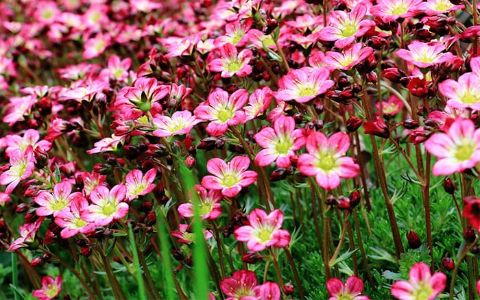 Rockery Plants Top 10 Plants For An Alpine Rock Garden