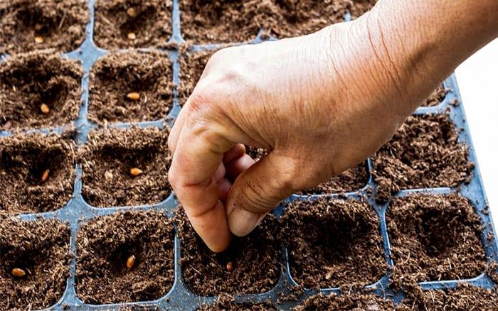 Выращивание корнеплодов в открытом грунте 23
