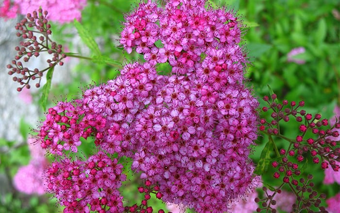 spirea-japonica-pink-flowers-fast-growing-shrub