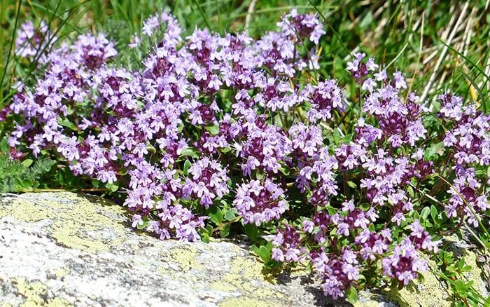 Thyme Flowering Herb Purple Flowers Alpine Plants For