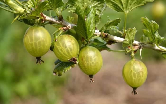 Gooseberries a
