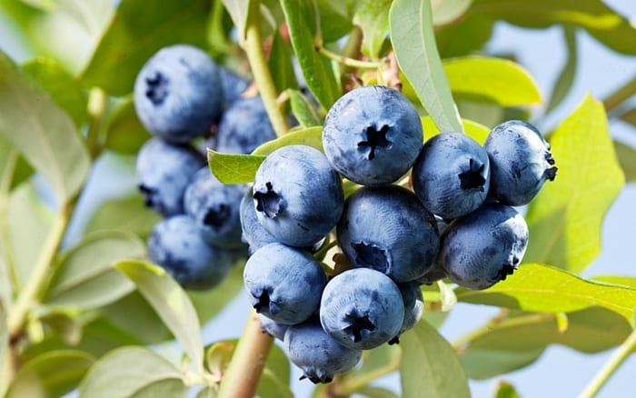 Blueberries 1 a