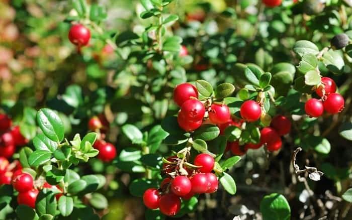 Cranberries a