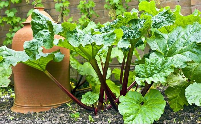 Rhubarb in a garden