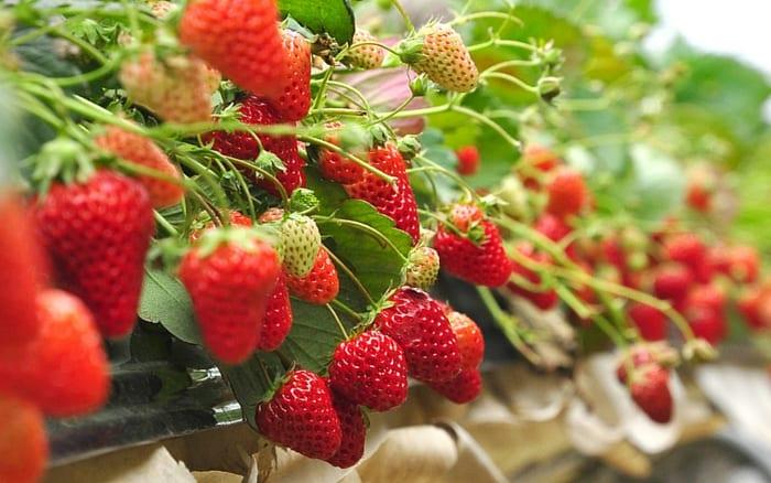 Strawberries 1 a