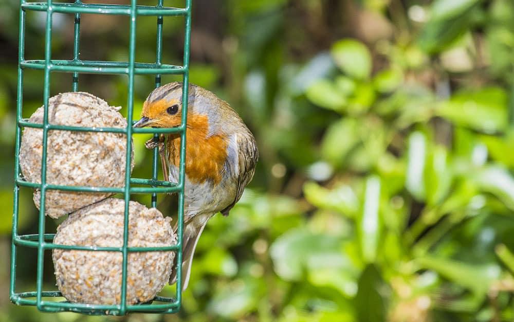 bird-fat-ball-robin