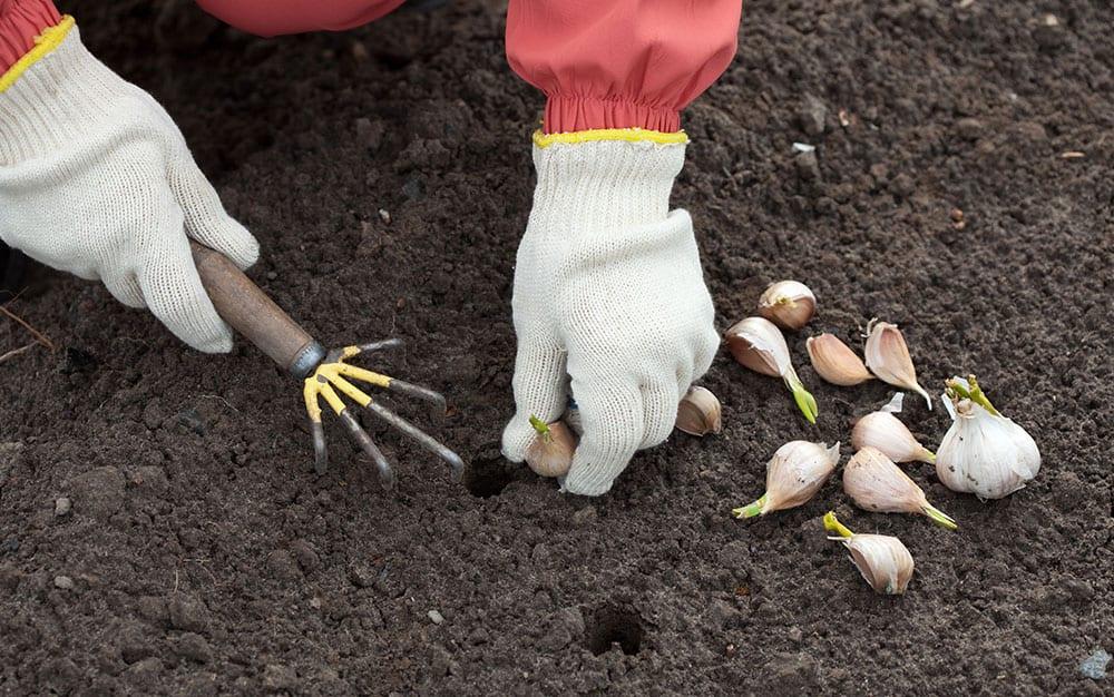 garlic-planting