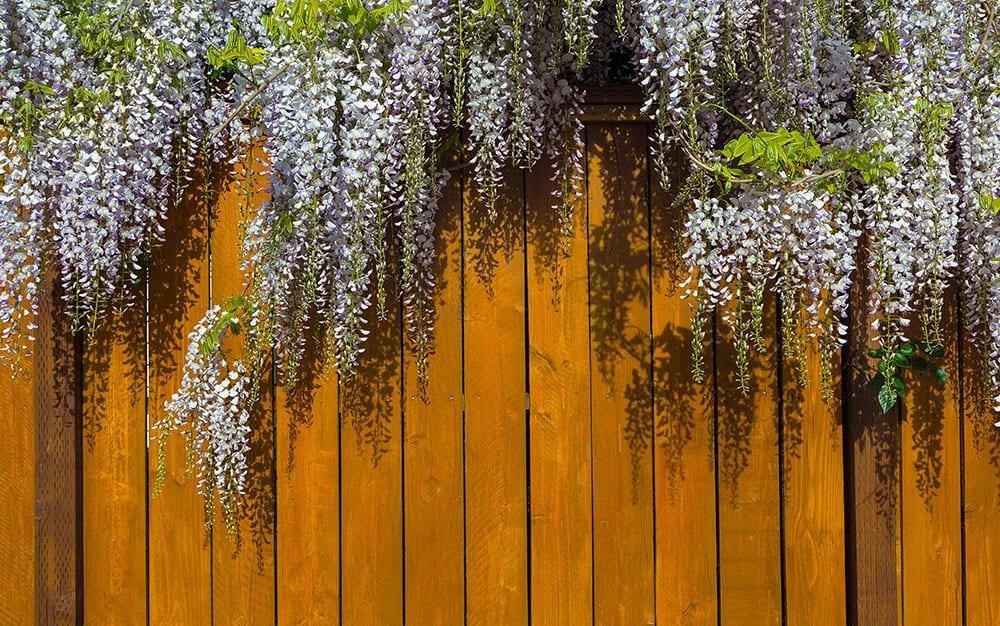 wisteria-fence