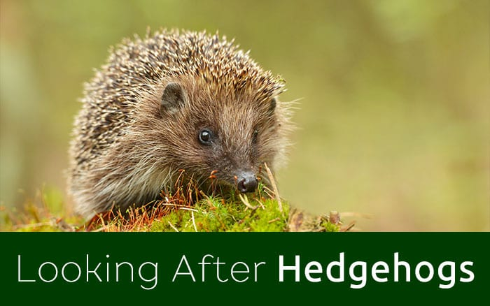 Looking After Hedgehogs