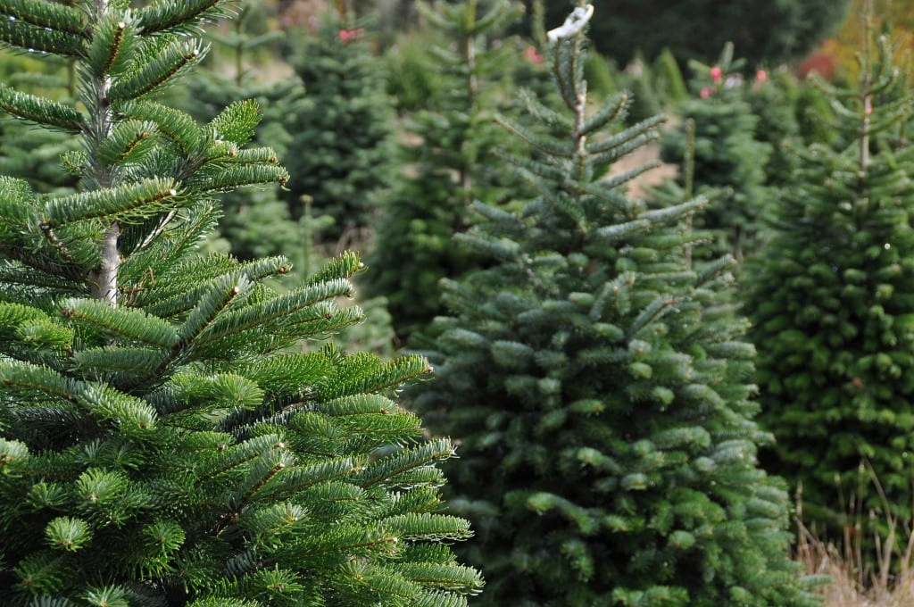 Different types of christmas trees pictures - The Different Types Of Tree