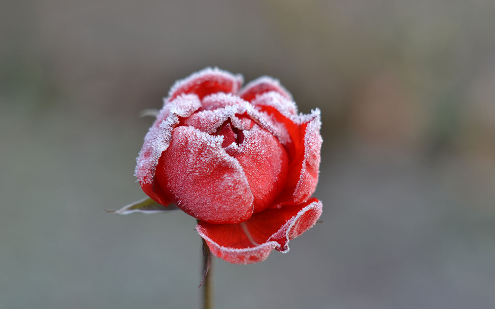 frosty-flower