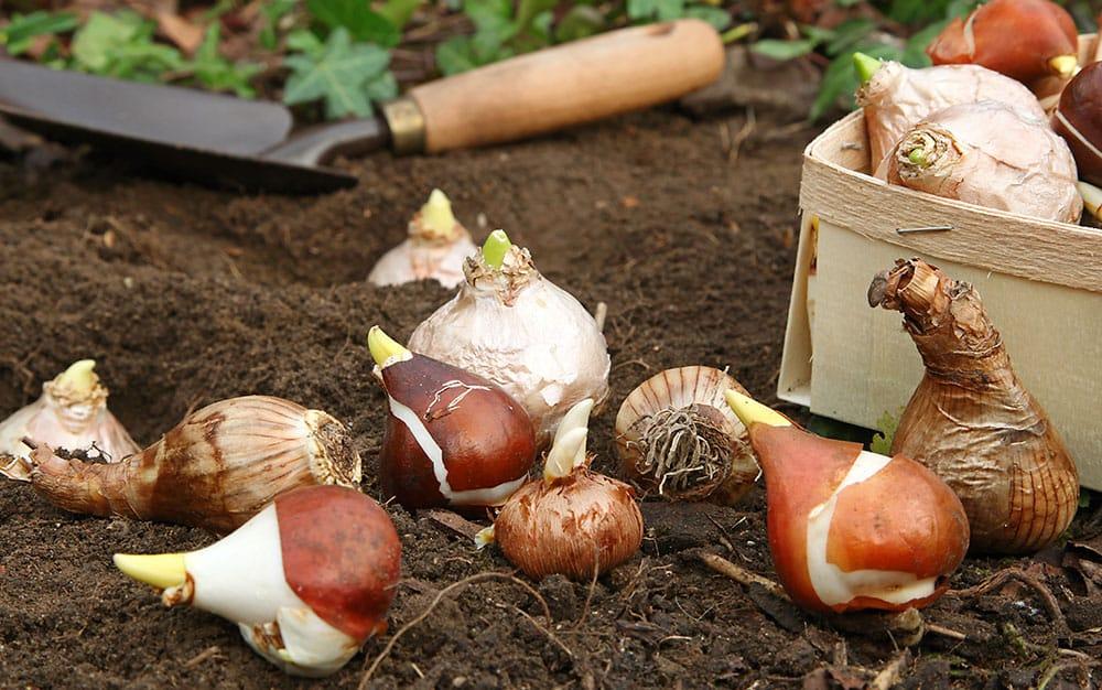 planting-bulbs