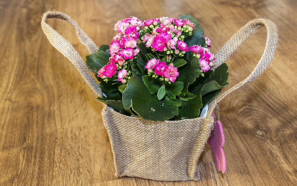 Mother's Day kalanchoe