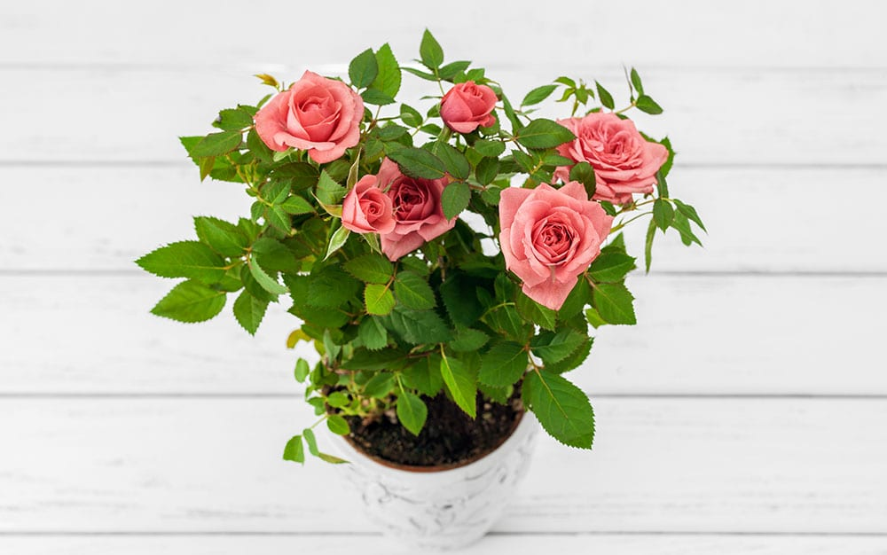 roses-white-wooden-table