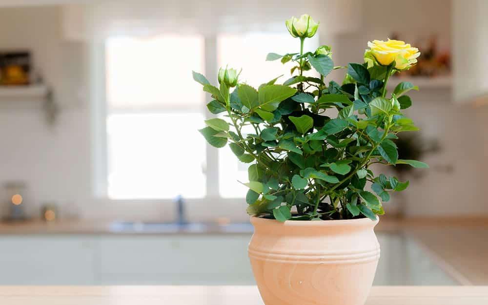 yellow-roses-kitchen
