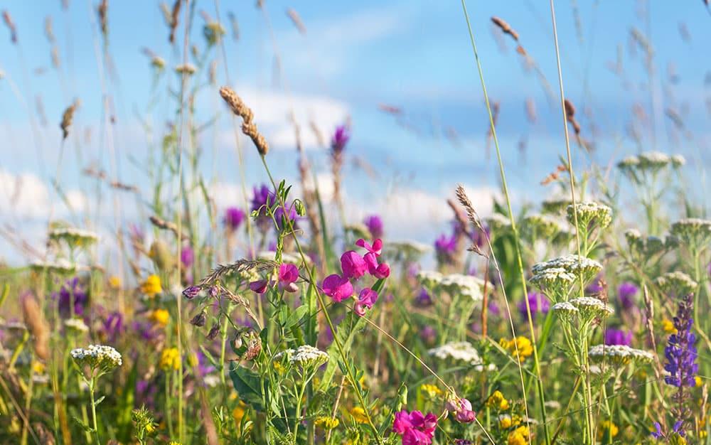 wild-meadow