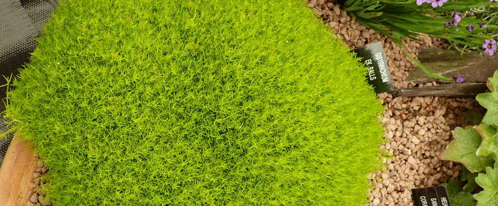 Sagina-Subulata-aurea