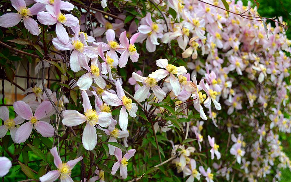 clematis climbing fence