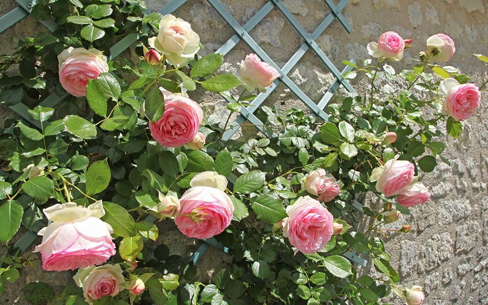 climbing-rose-trellis