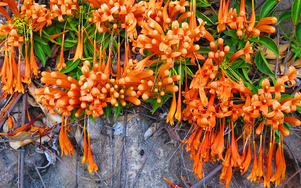 Ordinary Different Types Of Climbing Plants Part - 7: Honeysuckle