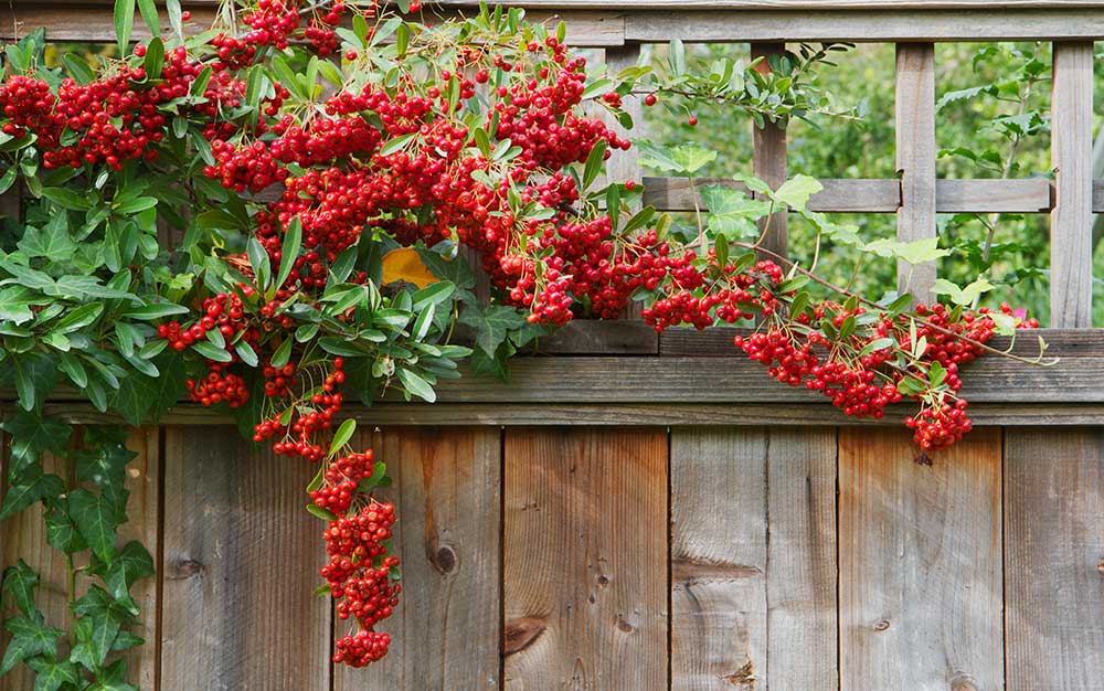 pyracantha-on-fence