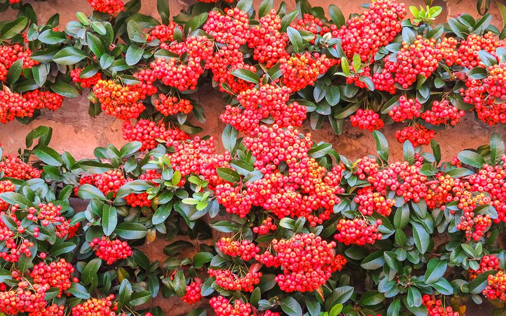 pyracantha-on-wall
