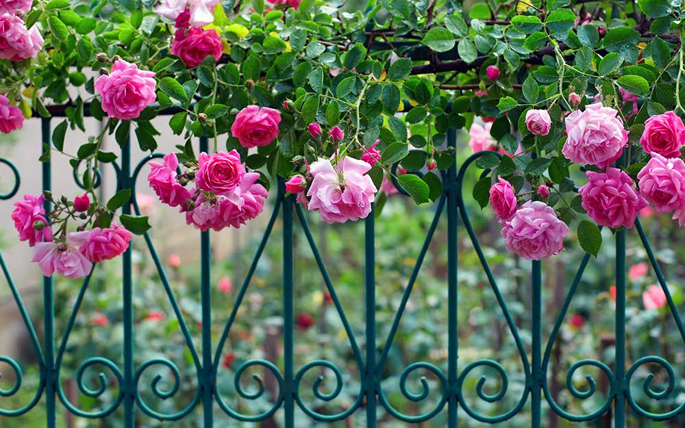 climbing roses-on-fence